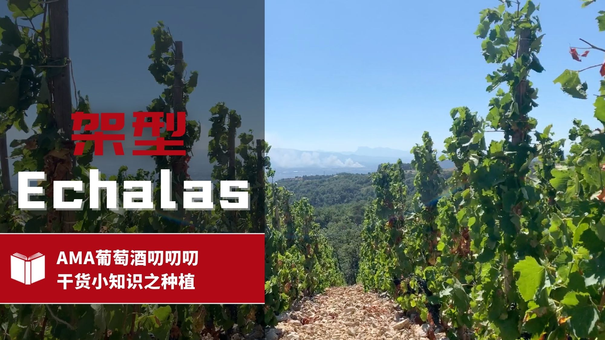 Echalas pruning system in the Northern Rhone - Alexandre Ma